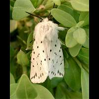 photograph of White Ermine