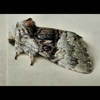 picture Nut-tree Tussock