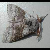 picture Pale Tussock Moth