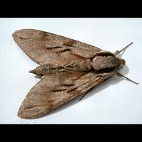 Photograph of a macro moth