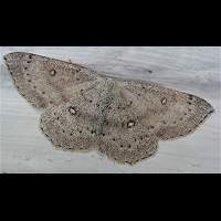 photograph of Cyclophora albipunctata