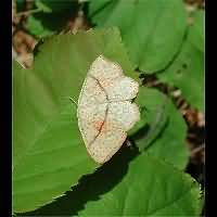 photograph of Cyclophora punctaria