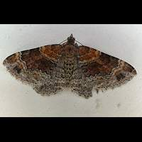 photograph of Red Twin-spot Carpet or Dark-barred Twin-spot Carpet