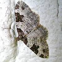 Photograph of Xanthorhoe fluctuata
