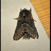 picture December Moth