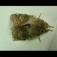 picture Lobster Moth