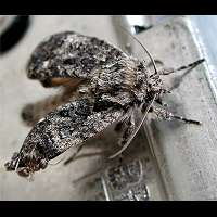 photograph of Acronicta rumicis