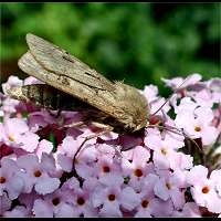 Photograph of Agrotis exclamationis