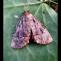 photograph of Svensson's Copper Underwing