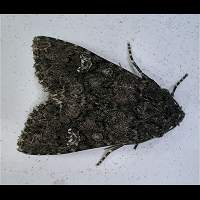 photograph of Cabbage Moth
