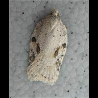 picture Acleris notana or Acleris ferrugana