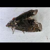 picture of Acorn Moth