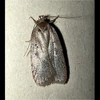 Photograph of the Agonopterix propinquella