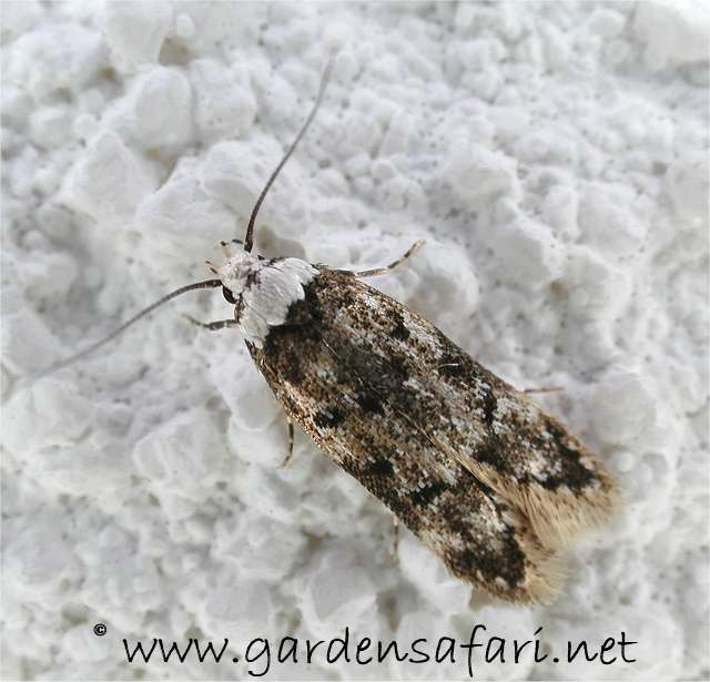 Image Gallery Moths In The House
