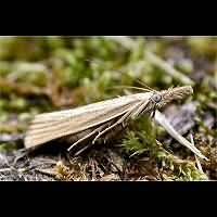 picture Common Grass Moth