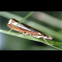 picture Catoptria margaritella