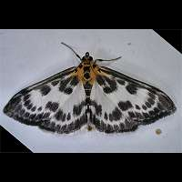 picture Small Magpie Moth