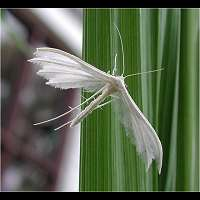 picture White Plume Moth