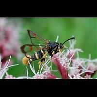 picture Yellow-legged Clearwing