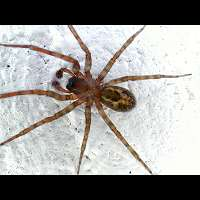 a House Spider