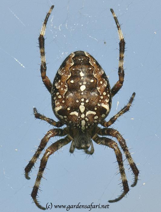 this - Common Garden Spider