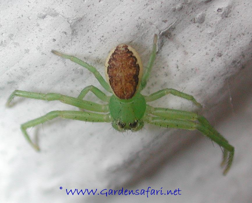 well known Garden Spider  Green Garden Spider