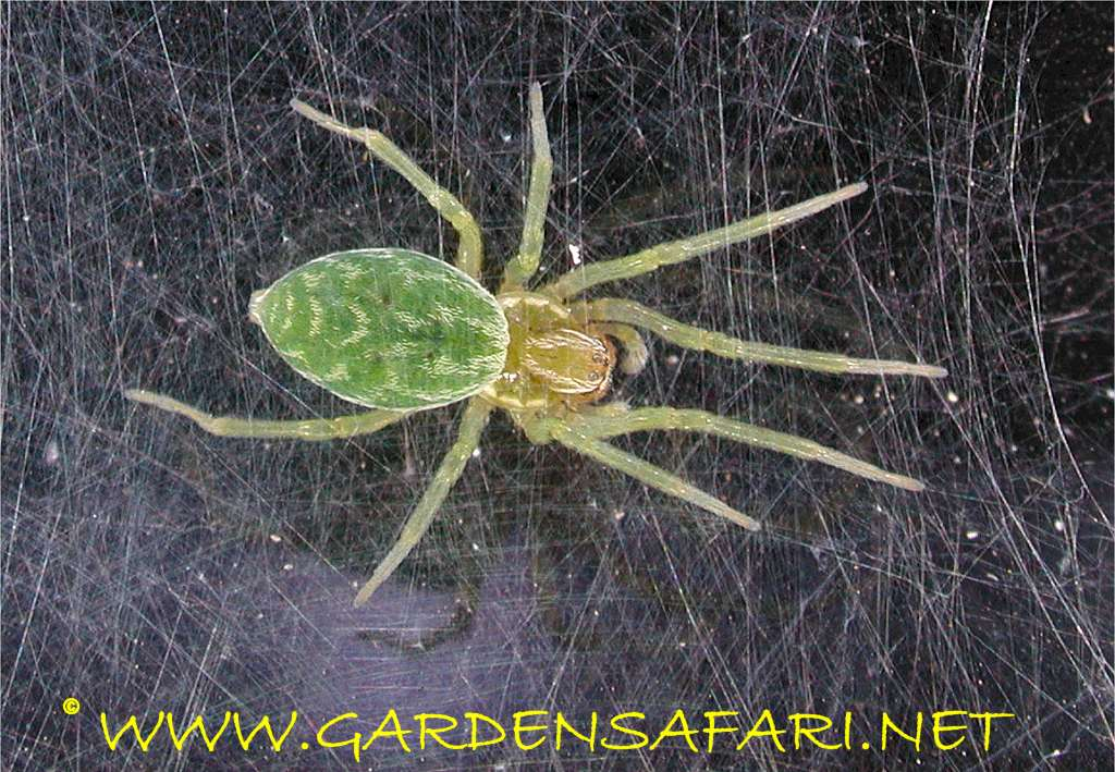 Gardensafari Garden Spiders With Lots Of Pictures