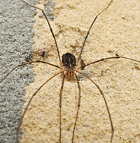 photograph of Common Harvestman