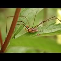 Photograph of a harvestman in the garden