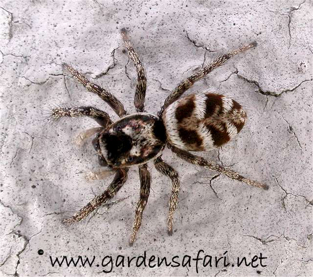 black house spider with white spots