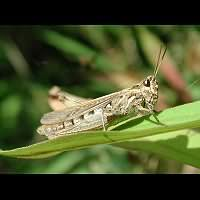 Common Field Grasshopper