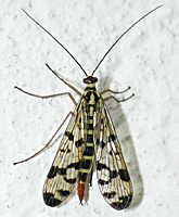 photo of Common Scorpionfly, Panorpa communis