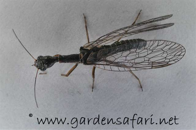 One. Gardensafari Miscellaneous Insects  Locusts  Lacewings  Ant lions