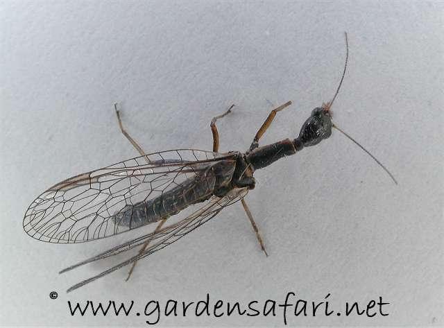 Gardensafari Miscellaneous Insects  Locusts dd832d3eb
