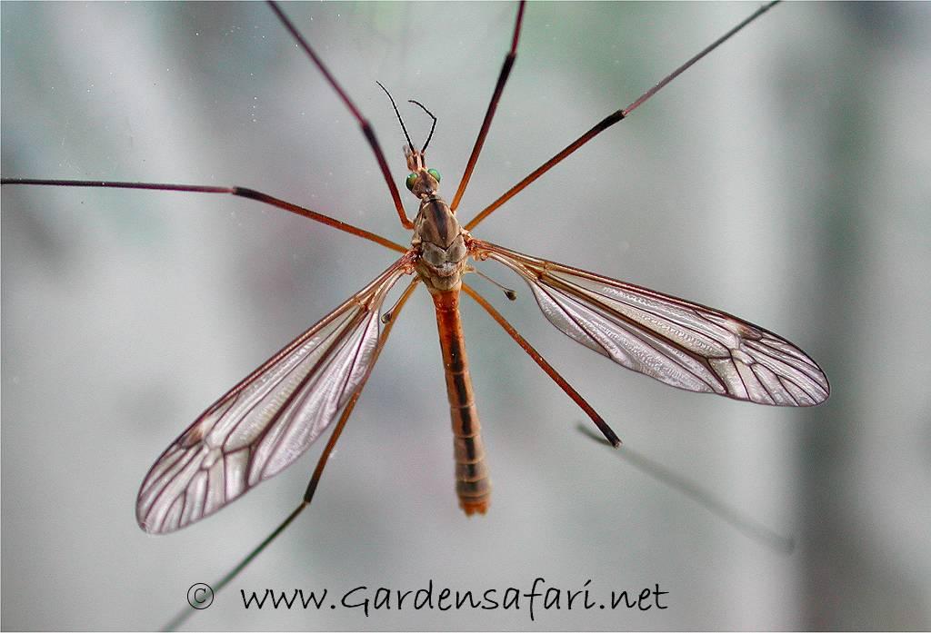 waarom steken muggen