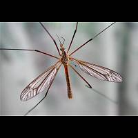 Photograph of Tipula vernalis