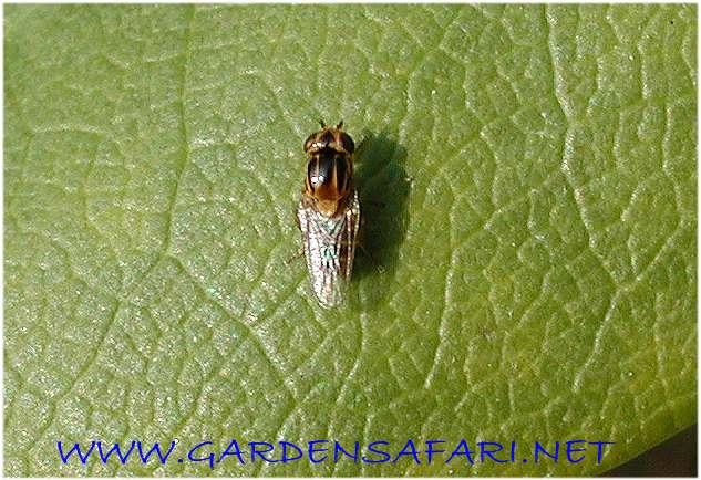 housefly larvae
