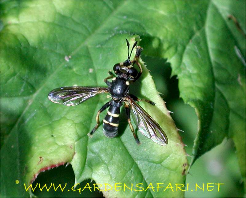 Gardensafari Miscellaneous Flies With Many Detailed Pictures