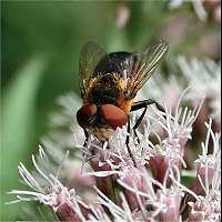 Picture of Phasia hemiptera