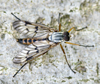 photo of Common Down-looking Fly, Rhagio scolopaceus