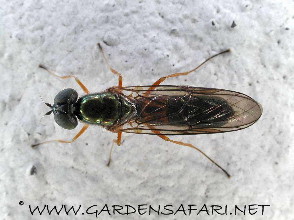 Small Black Flying Bugs In Bedroom Gardensafari Miscellaneous Flies With Many Detailed Pictures