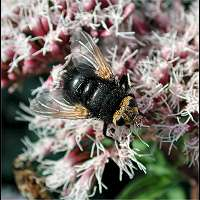 photograph of Tachina grossa