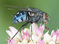 picture of Bluebottle, Calliphora vicina