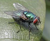 picture of Greenbottle, Lucilia sp.