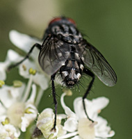 picture of Grey Fleshfly, Sarcophaga sp.