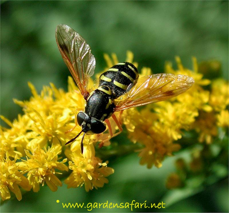Two. Gardensafari Hoverflies  with lots of pictures