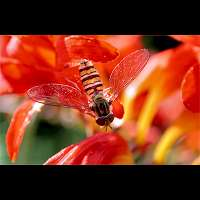 picture Marmelade Fly