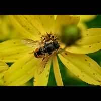picture Dwarf Drone Fly