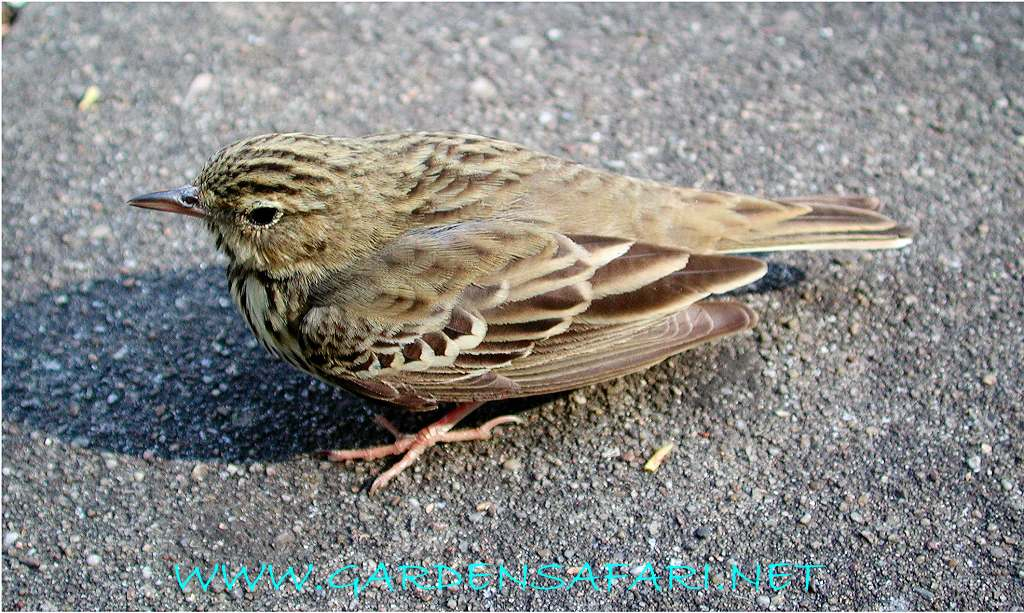 Tree Pipit Tree Pipits Have The Typical