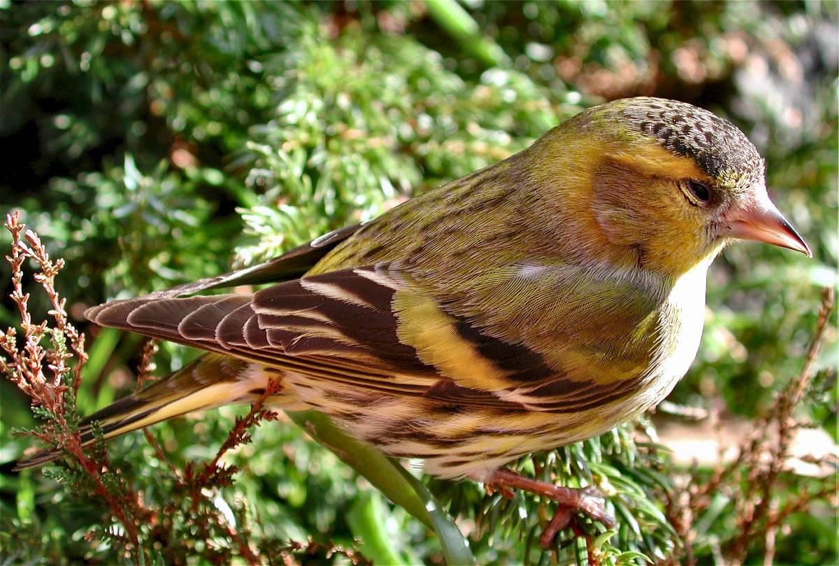 Vogels Nederland Tuin : Geaflecht tips voor een natuurvriendelijke tuin